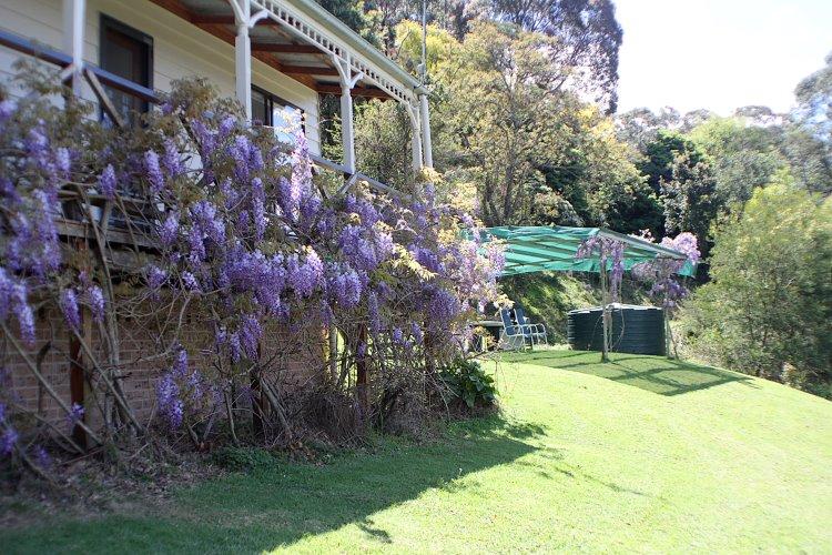 wisteria (2)